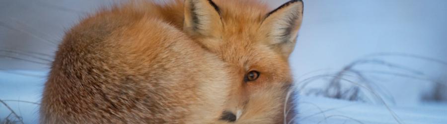 En ulv, en räv, en hare
